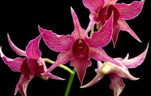 Blooming orchid wallpaper - Orchids