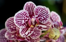 Moth orchids wallpaper - Orchids