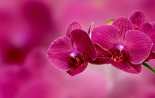 Orchid wallpaper - Orchids