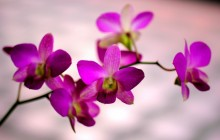 Purple orchid wallpaper - Orchids
