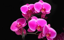 Beautiful pink orchid wallpaper - Orchids