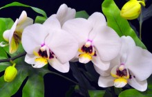 Orchid branch background - Orchids