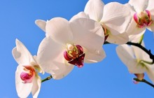 White orchid wallpaper - Orchids