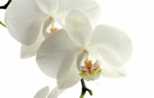 White orchid flower wallpaper - Orchids