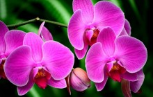 Pink orchid flower wallpaper
