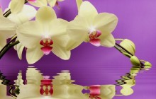 Orchid flower wallpaper hd - Orchids