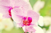 Beautiful orchid flower wallpaper - Orchids