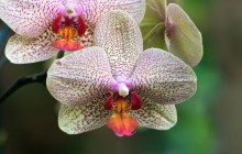 White purple orchid wallpaper - Orchids