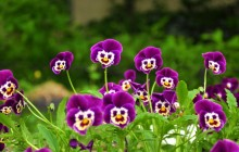 Pansies flowers wallpaper