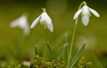 Pictures of snowdrops - Snowdrops