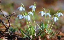 Spring snowdrops wallpaper