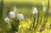 Snowdrops wallpapers - Snowdrops