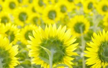 Sunflowers background - Sunflowers