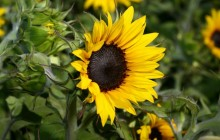 Brilliant sunflower wallpaper - Sunflowers
