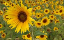Sunflowers field wallpaper - Sunflowers