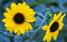 Sunflower wallpapers - Sunflowers