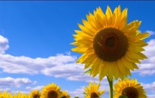 Sunflower flower images