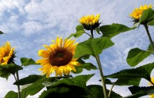 Sunflower images - Sunflowers