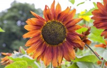 Orange sunflower wallpaper - Sunflowers