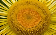 Mini sunflower head macro wallpaper - Sunflowers