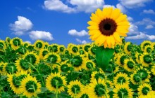 A little sunshine to brighten your day - Sunflowers