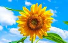 Sunflower wallpaper - Sunflowers