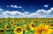 Sunflower pictures - Sunflowers