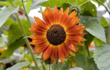 Deep orange sunflower wallpaper - Sunflowers