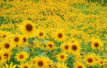Sunflower field wallpaper - Sunflowers