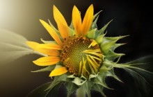 Blooming sunflower wallpaper