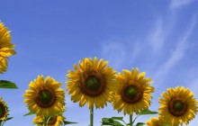 Sunflowers wallpaper - Sunflowers