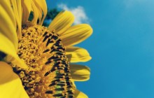 Sunflower petals wallpaper - Sunflowers