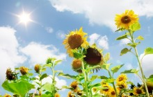 Sunflowers in the sun wallpaper - Sunflowers