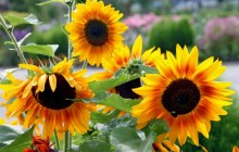 Sunflower blooming wallpaper - Sunflowers