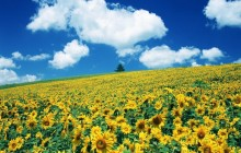 Sunflower HD wallpaper - Sunflowers