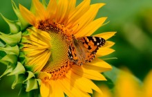 Butterfly on sunflower wallpaper