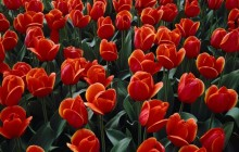 Holland tulips wallpaper