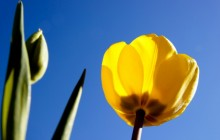 The tulip flower wallpaper - Tulips