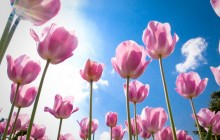 Spring flowers tulips wallpaper - Tulips