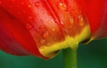 Tulip macro wallpaper - Tulips