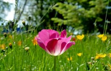 Tulip and meadow grass wallpaper