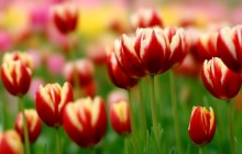 Red yellow tulips wallpaper