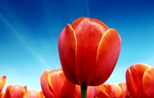 Tulip bloom wallpaper - Tulips