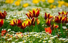 Spring tulips wallpaper - Tulips