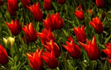 Lily flowered tulips wallpaper