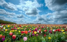 Colorful tulips field and clouds wallpaper