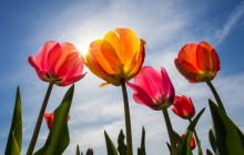 Summer tulips wallpaper