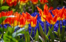 Tulip flower garden wallpaper - Tulips