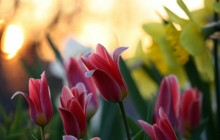 Beautiful tulips wallpaper