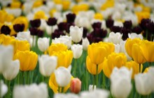 White and yellow tulips wallpaper